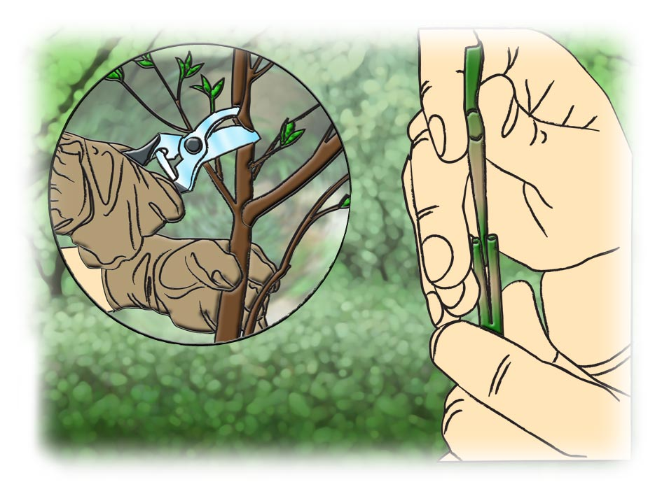 manaca de jardim em vaso : manaca de jardim em vaso:Conservação do jardim nos meses de janeiro a junho – Jardinagem