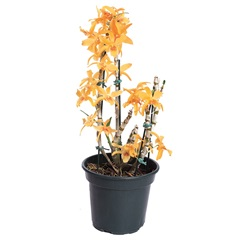 Planta Artificial Dendrobium Nobilis Pote 15 - TIMLOG