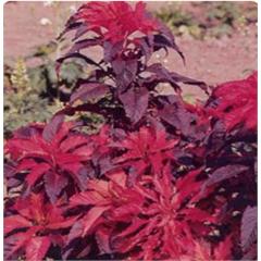 Sementes de Amaranthus Bico de Papagaio Bicolor - Feltrin