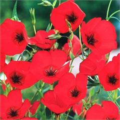 Sementes de Linho de Jardim Vermelho