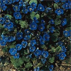 Sementes de Phacélia Azul - Feltrin