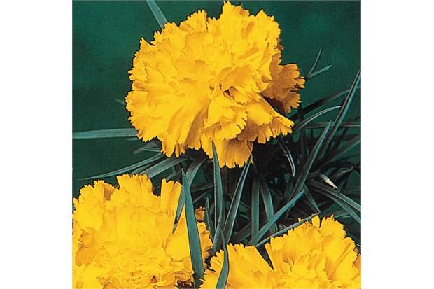 Sementes de Cravo Gigante Amarelo - Feltrin