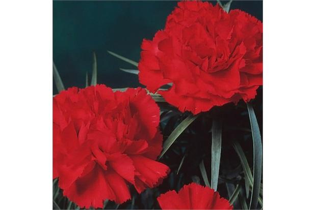 Sementes de Cravo Gigante Vermelho - Feltrin